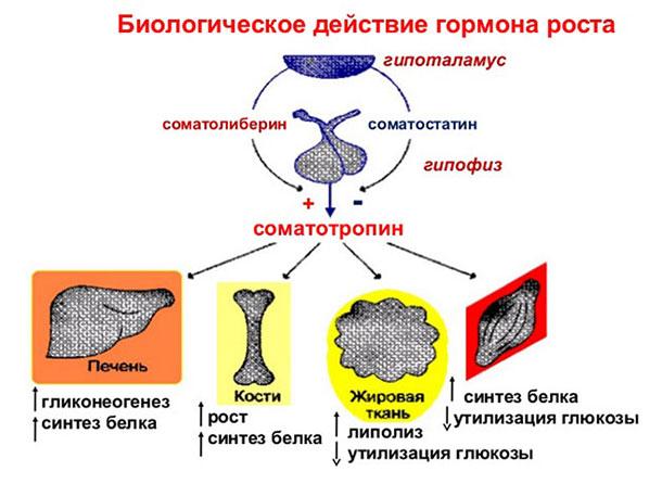 Соматотропин в организме