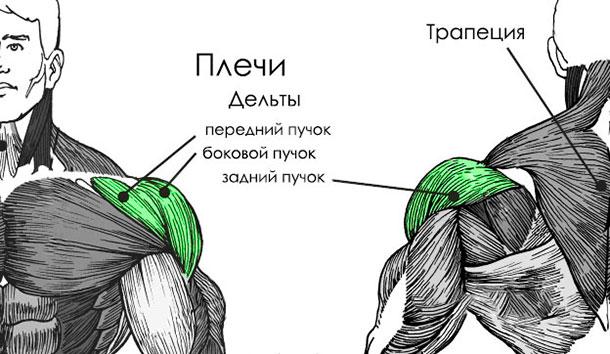 Rear shoulder muscle anatomy