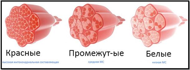 Виды мышечных волокон