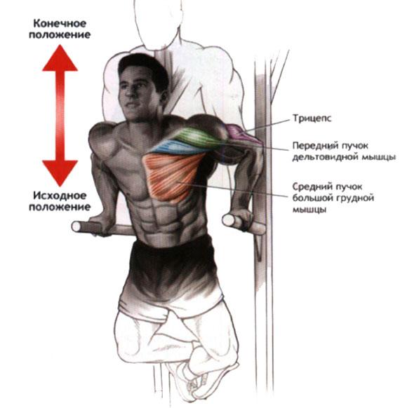 Работа мышц при отжиманиях на брусьях