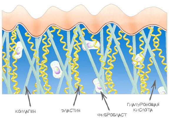 Коллаген в организме