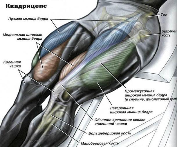 Квадрицепс бедра: анатомия