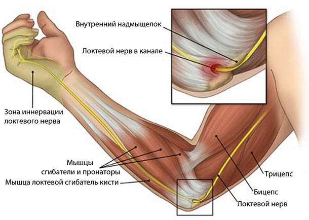 Строение руки