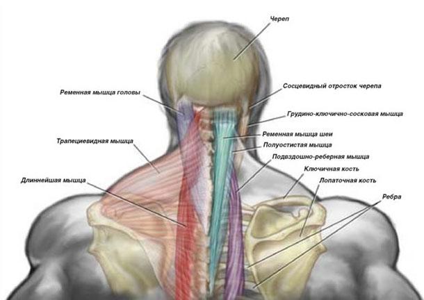 Мышцы шеи у человека
